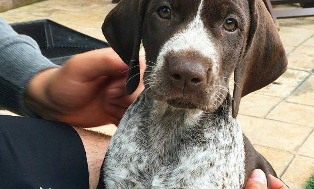 German Shorthaired Pointer Puppies Florida