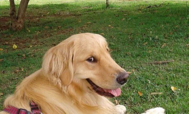 Golden Retriever Puppies Miami