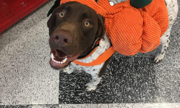 german shorthaired pointer puppies for adoption