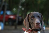 german shorthaired pointer rescue florida
