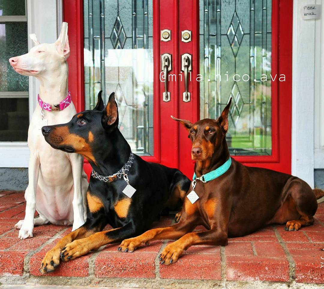white doberman puppies for sale