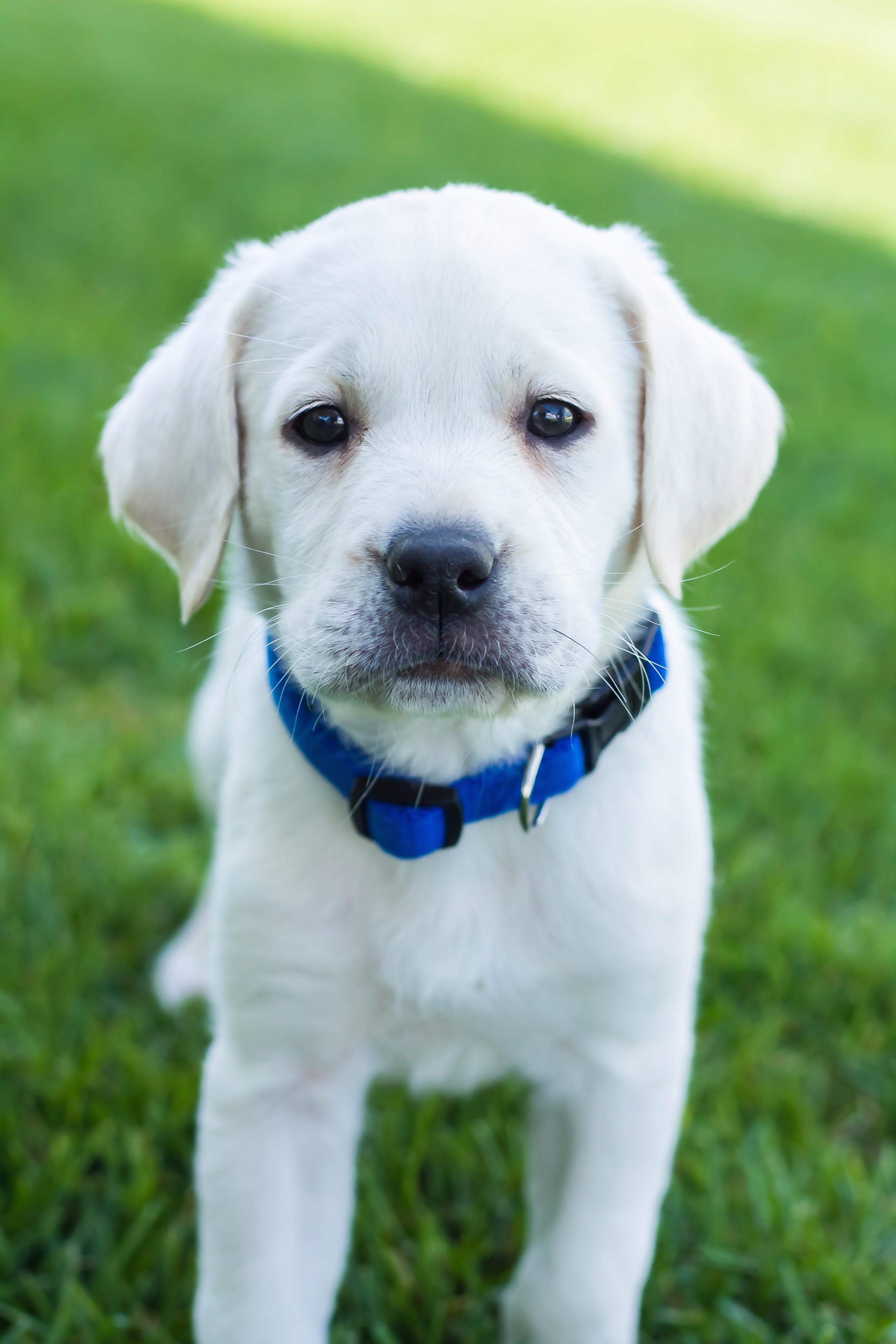 1517651169 Male White Labrador Puppy Placed.jpg