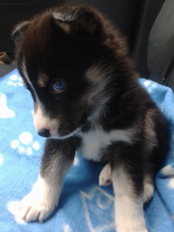 1517651771 Pomsky Puppies For Sale.jpg