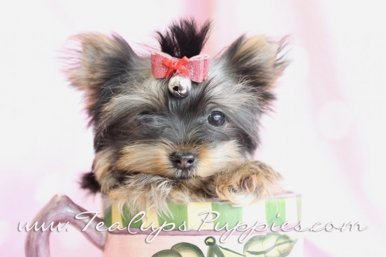 1517669093 Akc Yorkies For Sale Teacup Yorkie Puppies For Sale.jpg