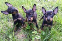 1517669538 Amanda Craig Manchester Terrier Puppies For Sale.jpg