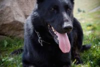 1517672250 8 Things You Didn T Know About The Black German Shepherd Animalso.jpg