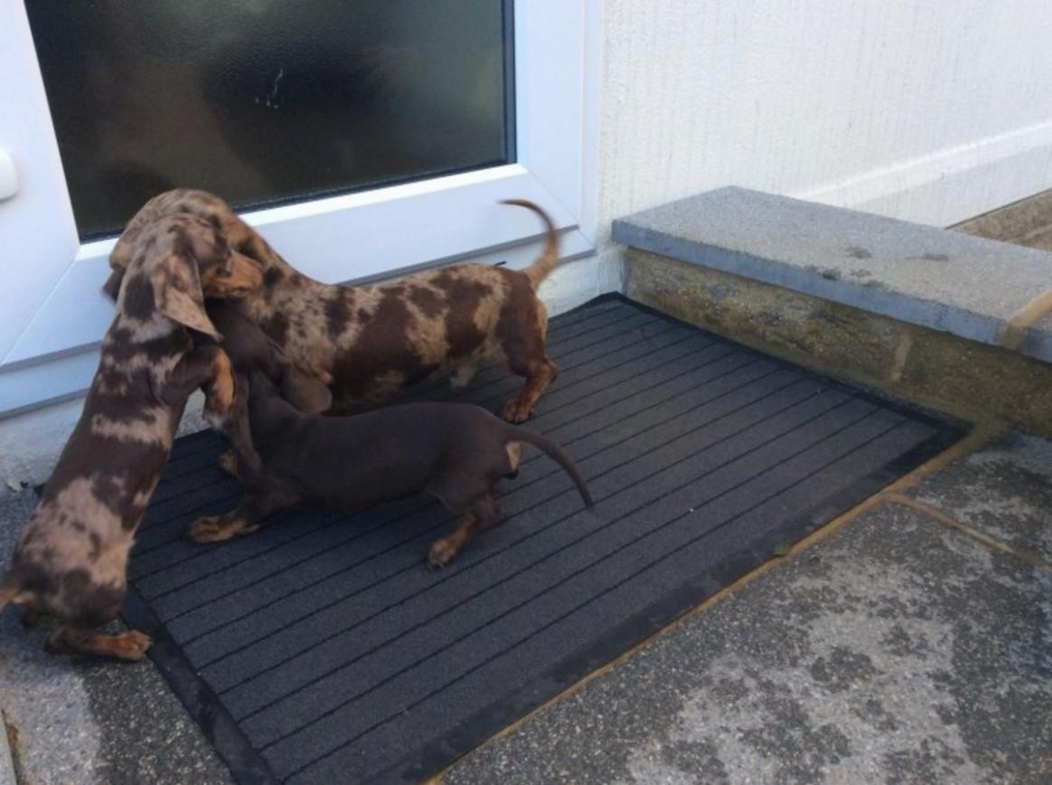 1517756886 Chocolate Tan Standard Dachshund Pups Akc Reg Males And Females In.jpg