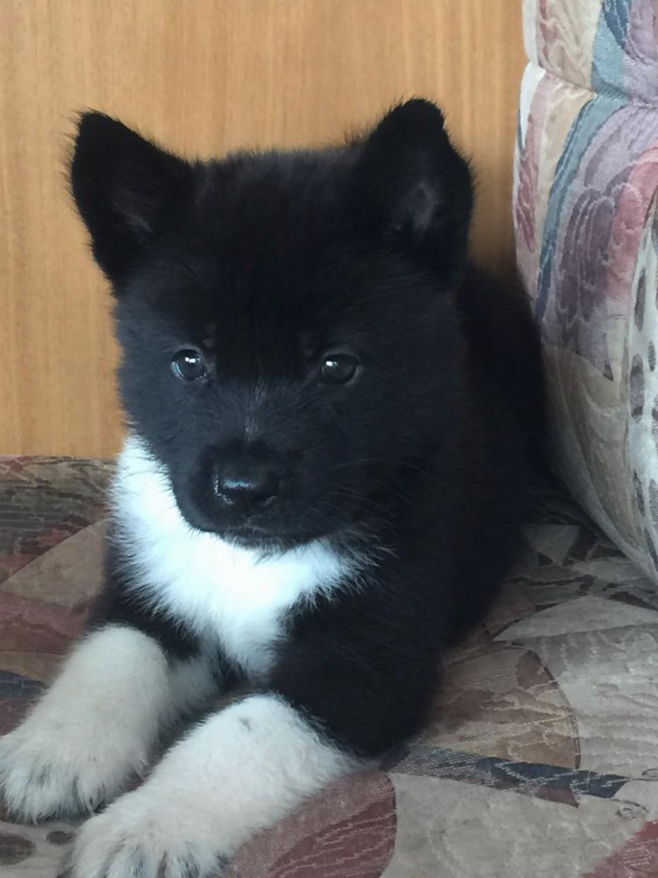1517757250 American Akita Puppies For Sale Tiverton Devon Pets10homes.jpeg