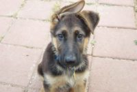 1517758514 10 Miniature German Shepherd Ears Baby Dog Pictures Images.jpg