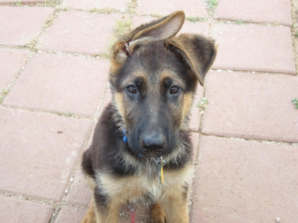 1517758514 10 Miniature German Shepherd Ears Baby Dog Pictures Images.jpg