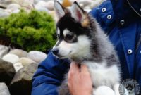 1517758714 Pomsky Puppies For Sale In Arkansas Billy Boy Pomsky Puppy For Sale In Ohio Pomsky Puppies For Sale Puppyspot Rottweiler Puppi.jpg