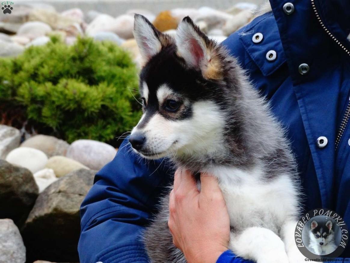 1517758714 Pomsky Puppies For Sale In Arkansas Billy Boy Pomsky Puppy For Sale In Ohio Pomsky Puppies For Sale Puppyspot Rottweiler Puppi.jpg