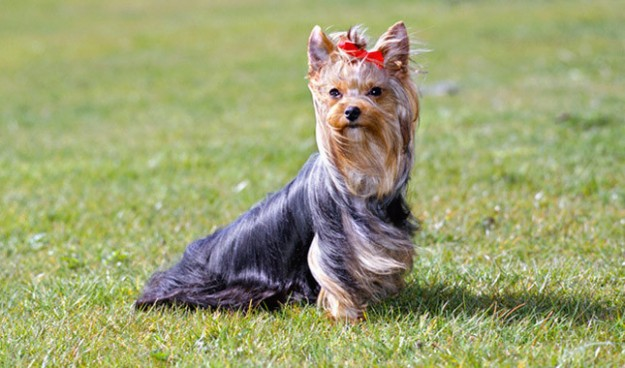 1517759834 Best Way To Potty Train A Yorkshire Terrier 10doggy Com.jpg