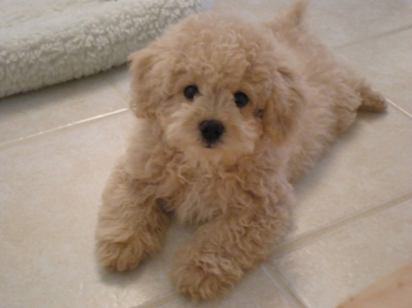 1517760058 15 Outrageously Adorable Poodle Mixes You Need To See.jpg