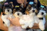 1517760625 13 Best Images About Biewers On Pinterest Yorkie.jpg