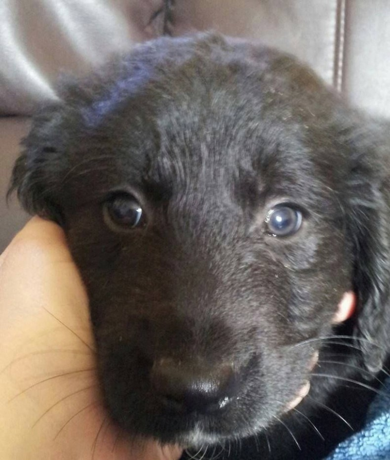 1517761206 Black Labrador X Golden Retriever Puppies For Sale St.jpg