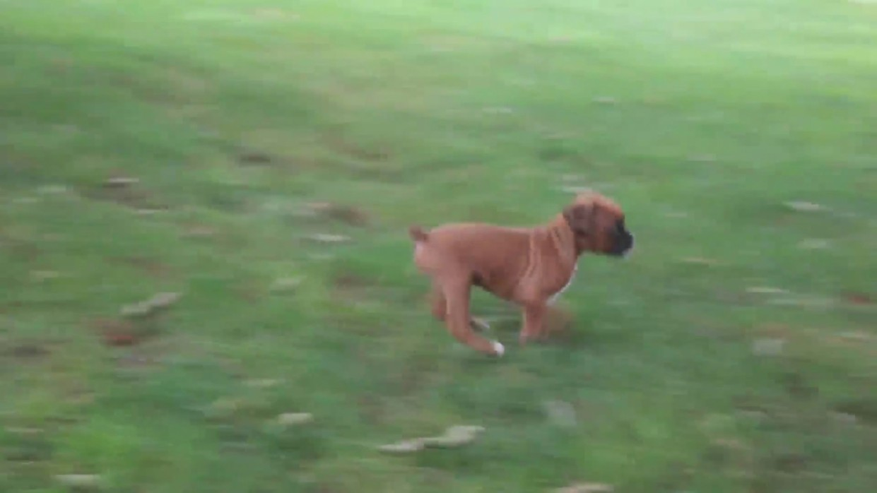 1517762684 Boxer Puppies For Sale Youtube.jpg